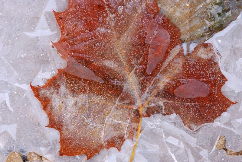 Foglio del sicomoro incassato in ghiaccio fotografia stock libera da diritti