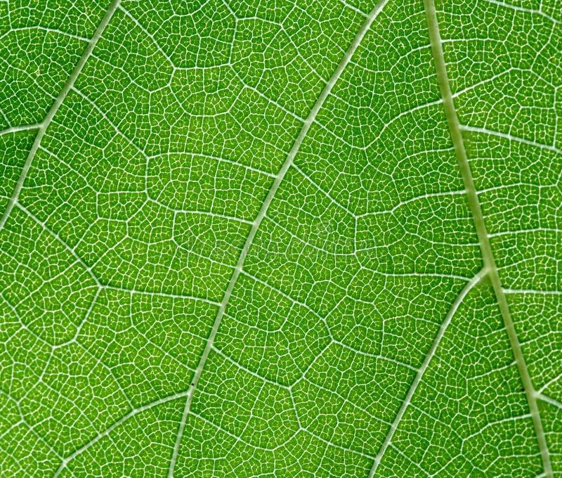Foglio dell'acino d'uva fotografia stock libera da diritti
