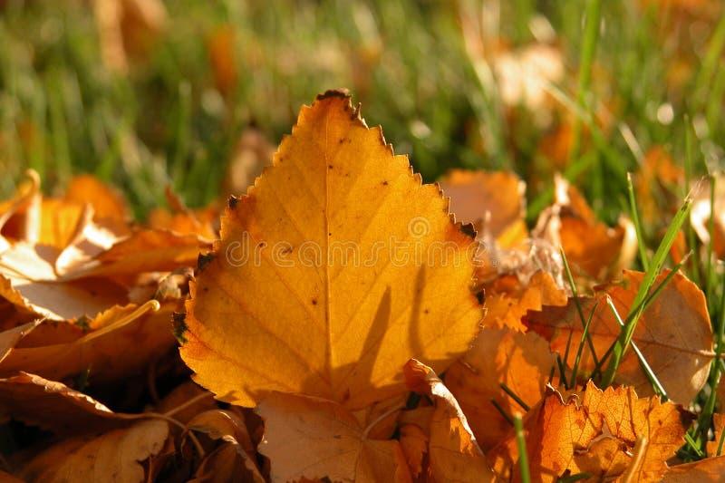 Foglio dell'albero di betulla fotografia stock
