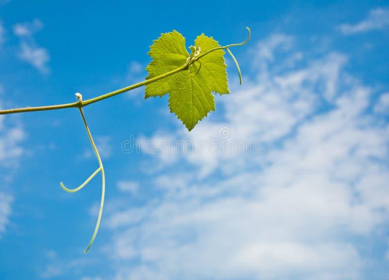 Foglio dell'uva fotografie stock