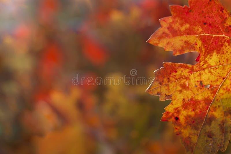 Foglio dell'uva in autunno fotografia stock