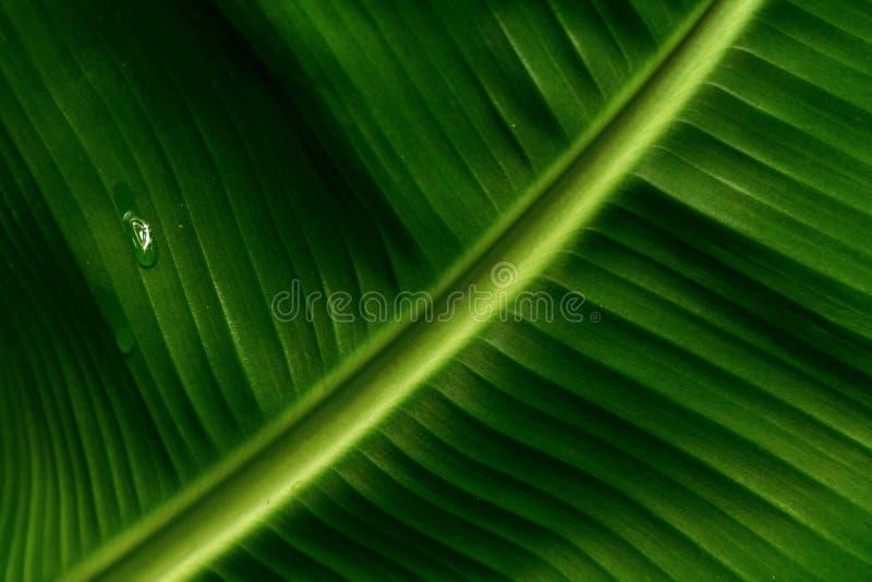 Foglio della banana fotografia stock libera da diritti