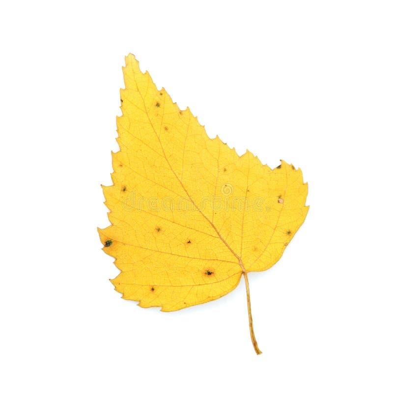 Foglio della betulla di autunno fotografie stock
