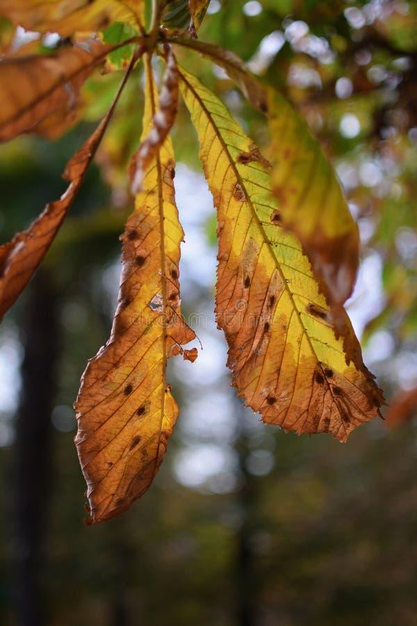 Foglio della castagna d'India in autunno fotografie stock