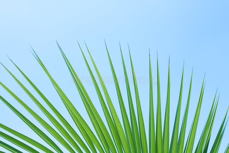 Foglio della palma illustrazione vettoriale