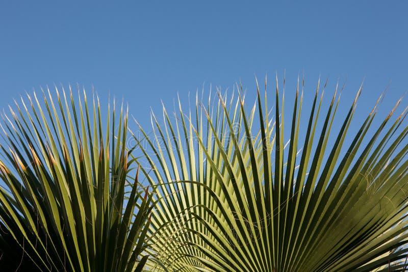 Foglio della palma fotografia stock