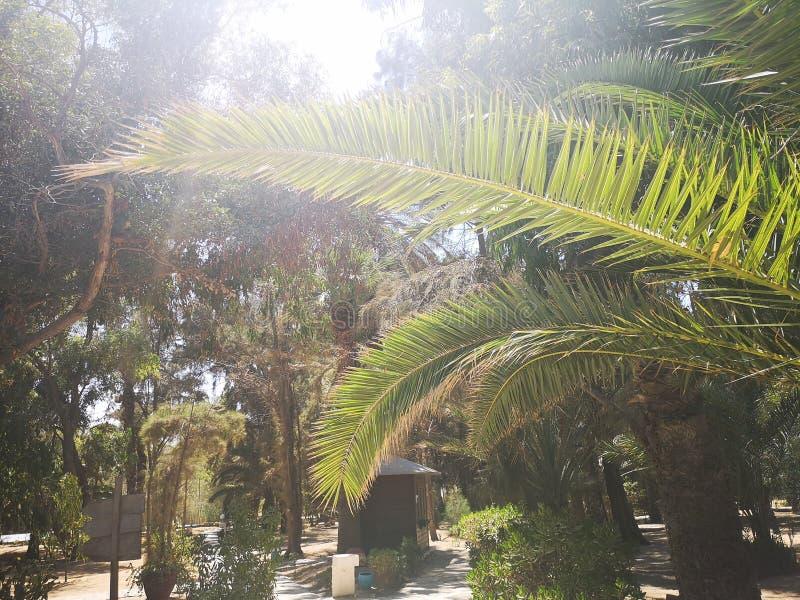 Foglio della palma immagine stock