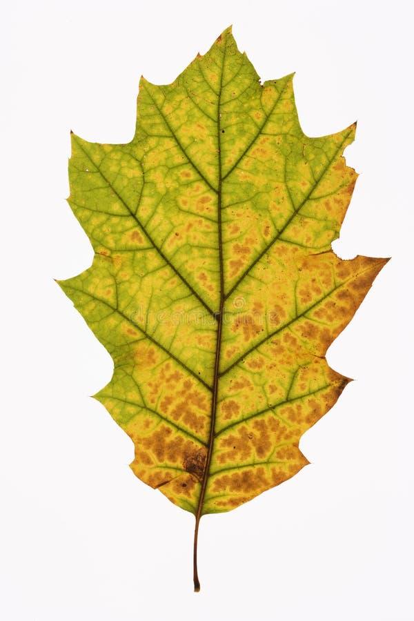 Foglio della quercia su bianco. fotografia stock libera da diritti