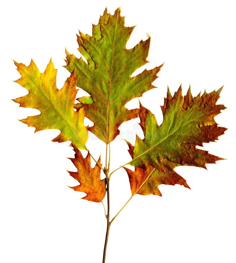 Foglio di autunno fotografie stock libere da diritti
