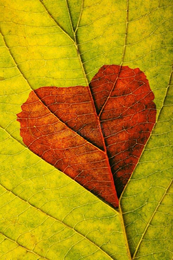 Foglio di autunno con cuore immagine stock