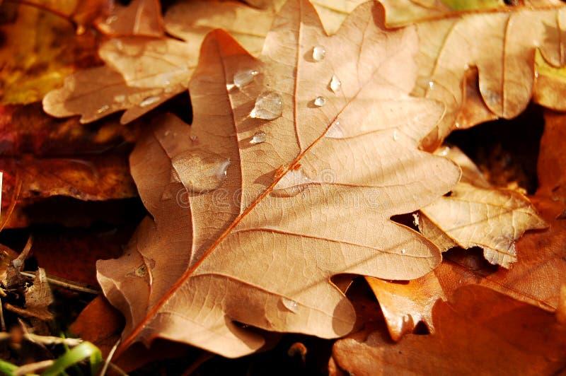 Foglio di autunno con rugiada immagine stock