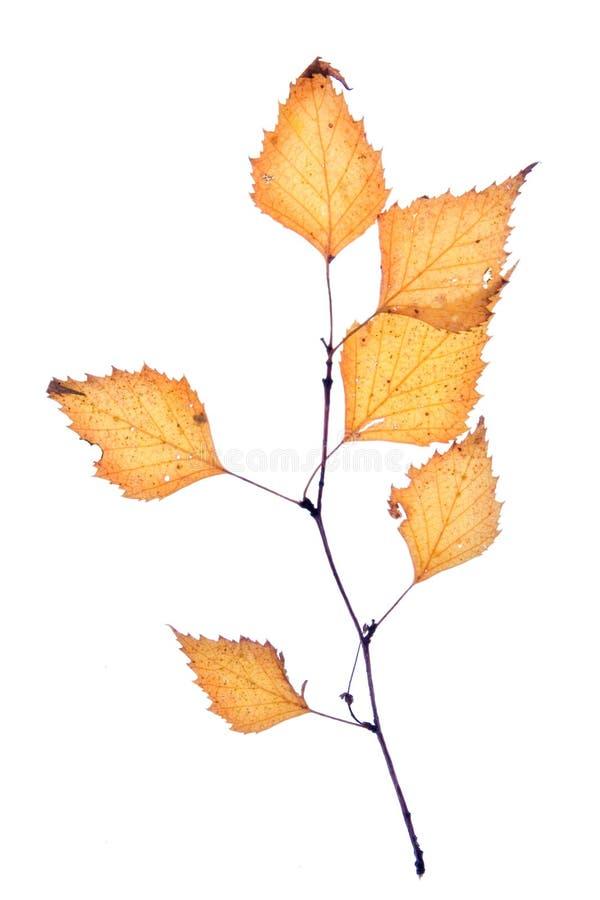 Foglio di autunno della betulla immagini stock
