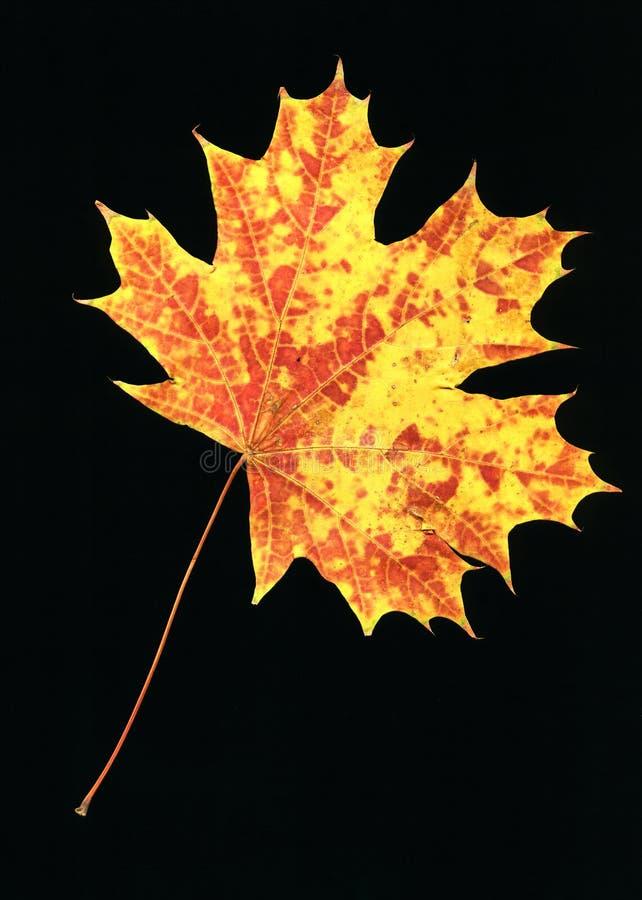Foglio di autunno sul nero fotografia stock