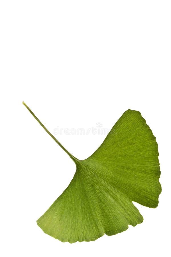 Foglio di biloba del Ginkgo fotografia stock libera da diritti