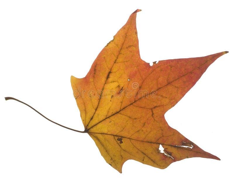 Download Foglio di caduta fotografia stock. Immagine di autunno - 7305334