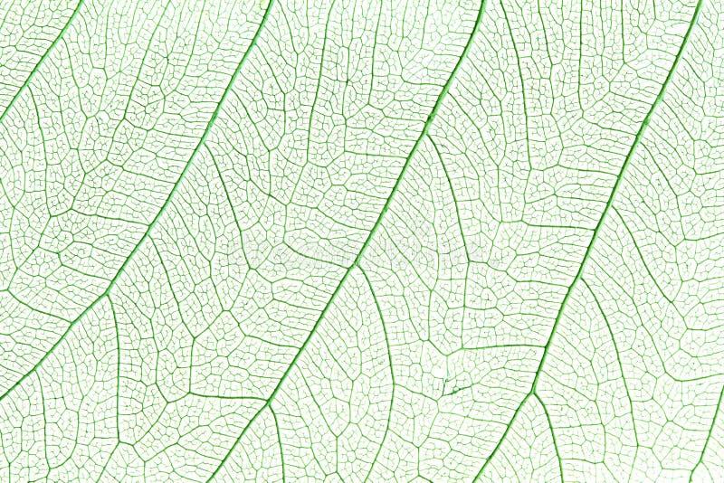 Foglio di scheletro verde fotografia stock libera da diritti
