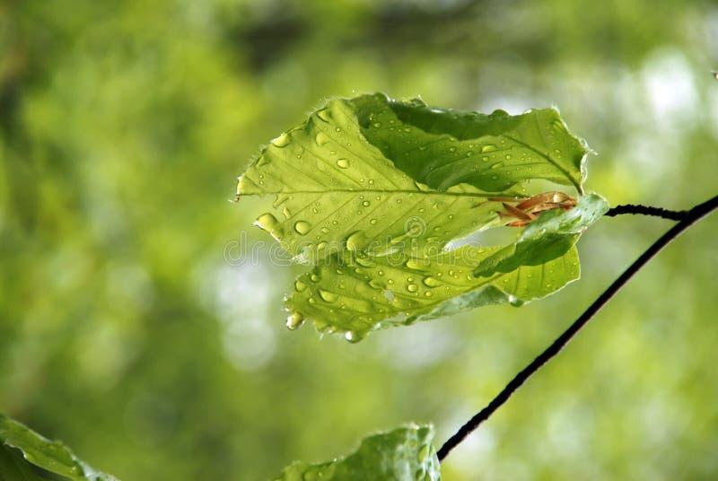 Foglio dopo pioggia fotografia stock libera da diritti