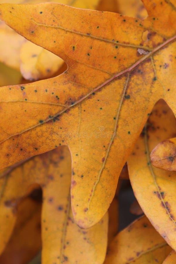 Download Foglio Dorato Della Quercia Immagine Stock - Immagine di fotografia, yellow: 55355717