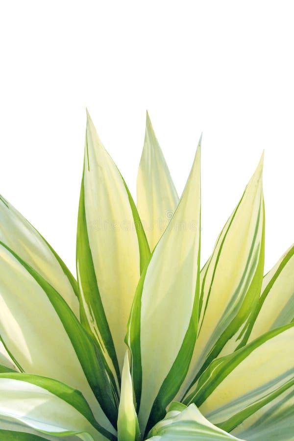 Foglio fresco - agave fotografie stock