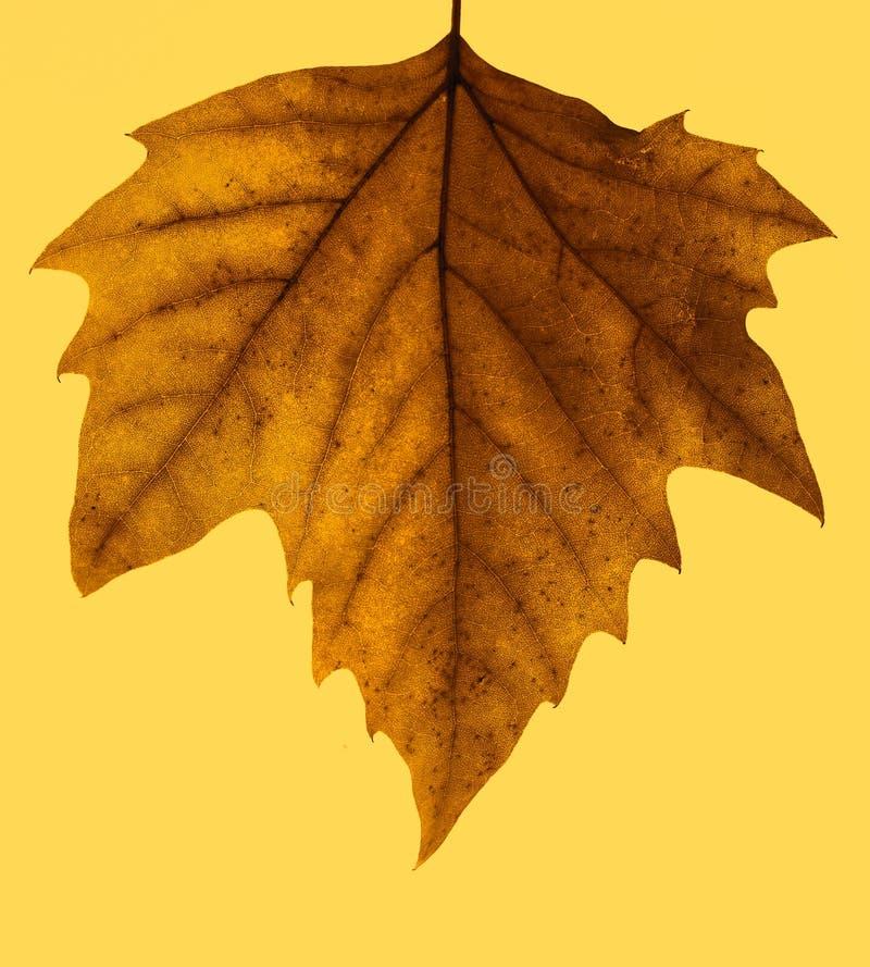 Foglio isolato di autunno immagini stock