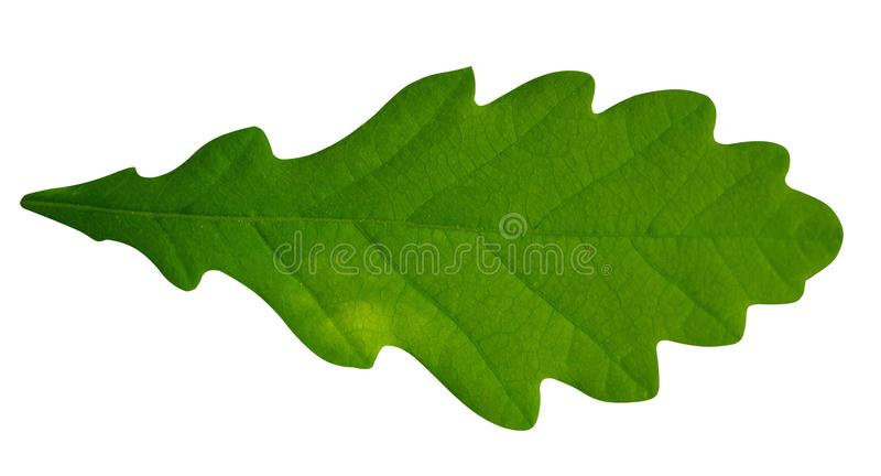 Foglio isolato su priorità bassa bianca foglio verde immagine stock
