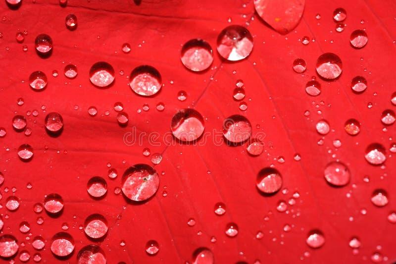 Foglio rosso con le gocce dell'acqua immagine stock
