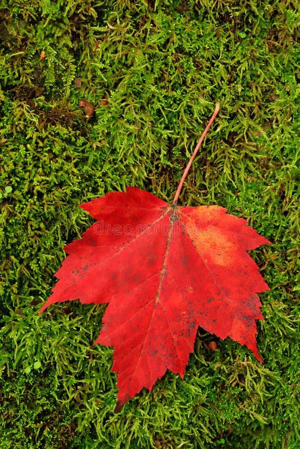 Foglio rosso su muschio fotografie stock