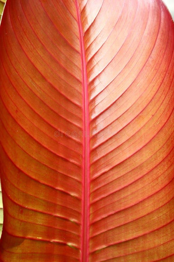 Foglio tropicale rosso - particolare fotografie stock