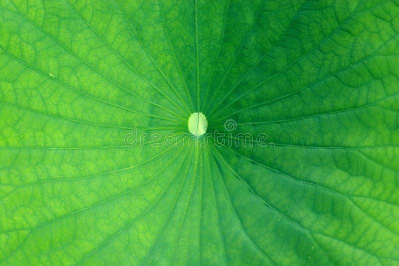 Download Foglio verde immagine stock. Immagine di fine, flora, luminoso - 219629