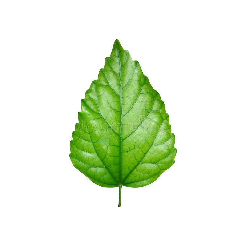 Foglio verde brillante fotografie stock libere da diritti