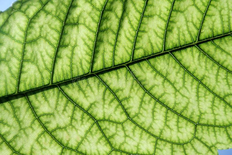 Foglio verde chiaro fotografia stock libera da diritti