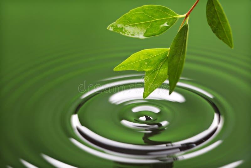 Foglio verde con l'ondulazione dell'acqua immagine stock libera da diritti