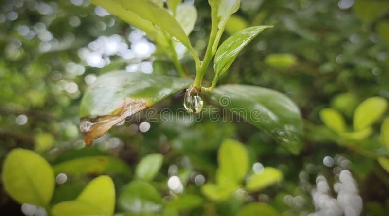 foglio verde con le gocce dell'acqua immagini stock
