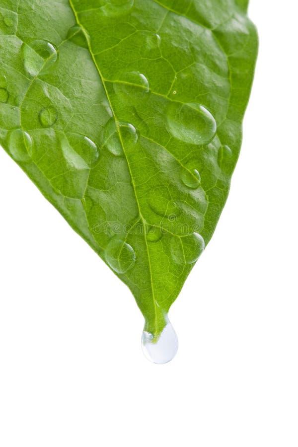Foglio verde con le gocce dell'acqua fotografie stock libere da diritti