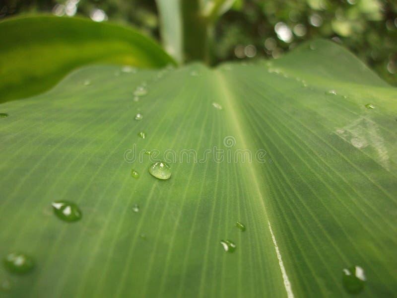 foglio verde con le gocce dell'acqua immagine stock