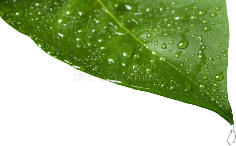 Foglio verde con le gocce dell'acqua isolate su bianco immagine stock