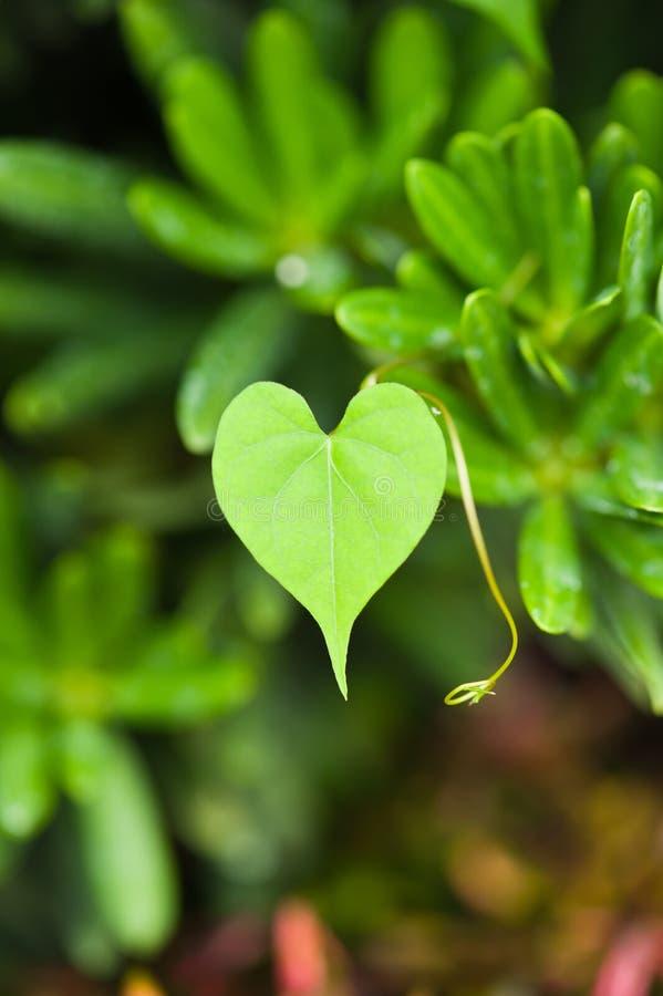 Foglio verde del cuore fotografia stock