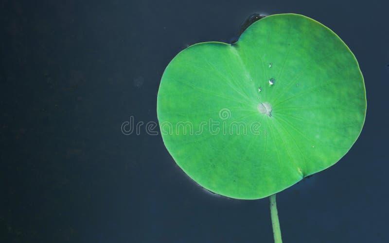 Foglio verde del loto immagine stock libera da diritti