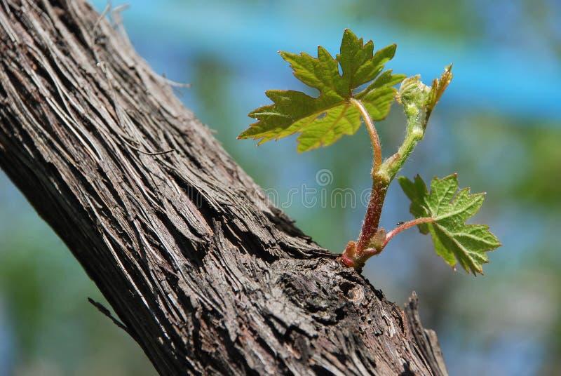 Foglio verde dell'acino d'uva fotografie stock libere da diritti