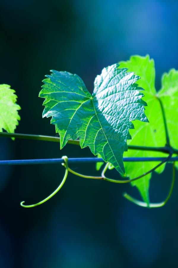 Foglio verde dell'acino d'uva fotografia stock libera da diritti