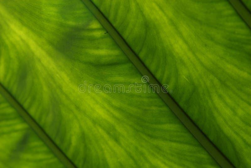 Foglio verde di Lucent fotografie stock