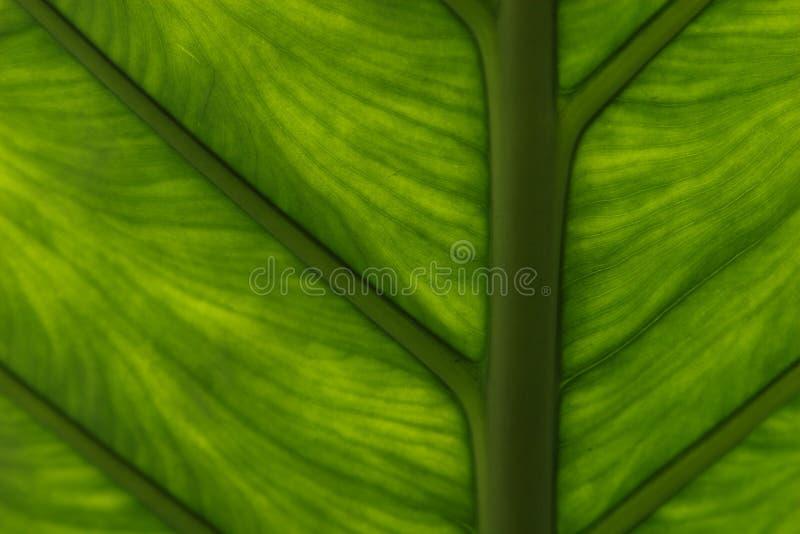 Foglio verde di Lucent fotografie stock libere da diritti