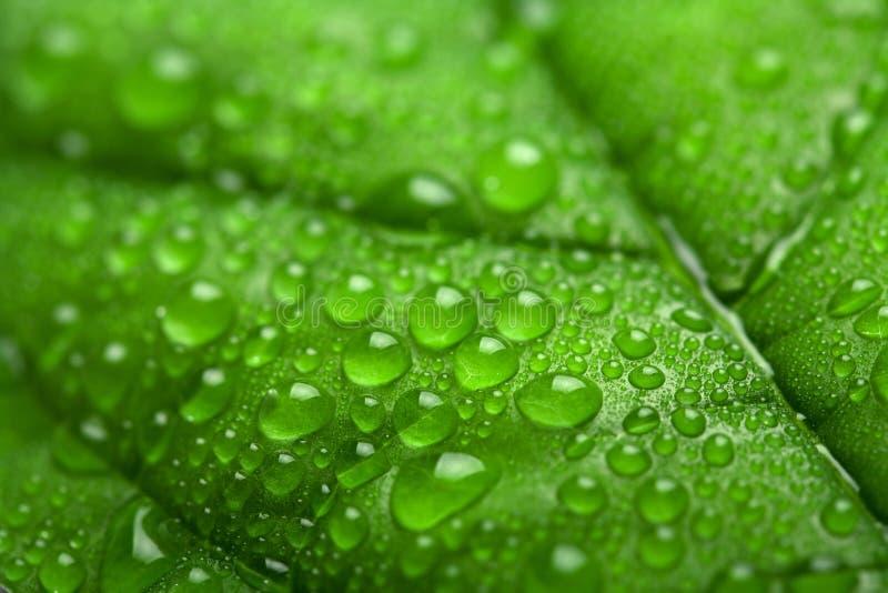 Foglio verde fresco con le goccioline di acqua fotografie stock libere da diritti