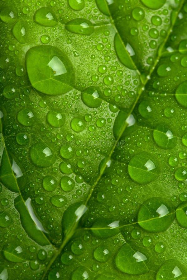 Foglio verde fresco con le goccioline di acqua fotografia stock