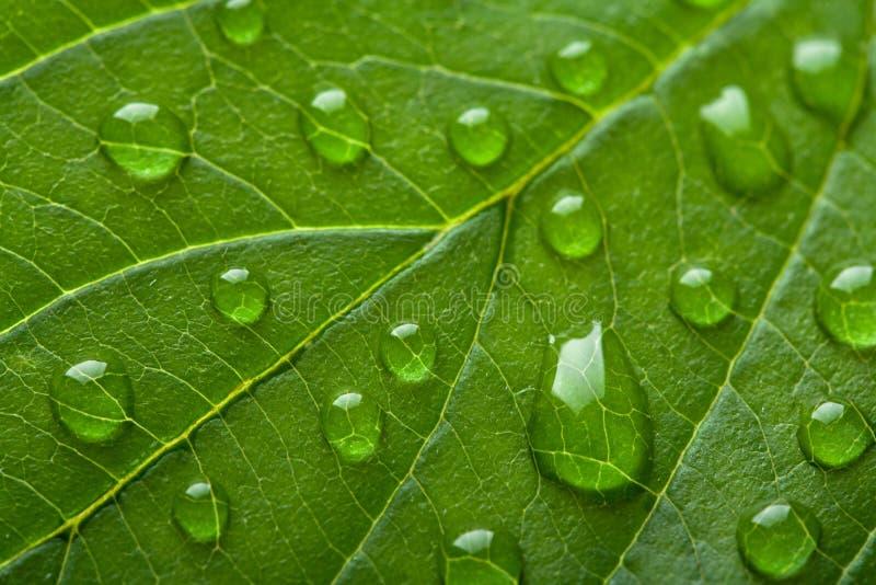 Foglio verde fresco con le goccioline di acqua fotografia stock libera da diritti