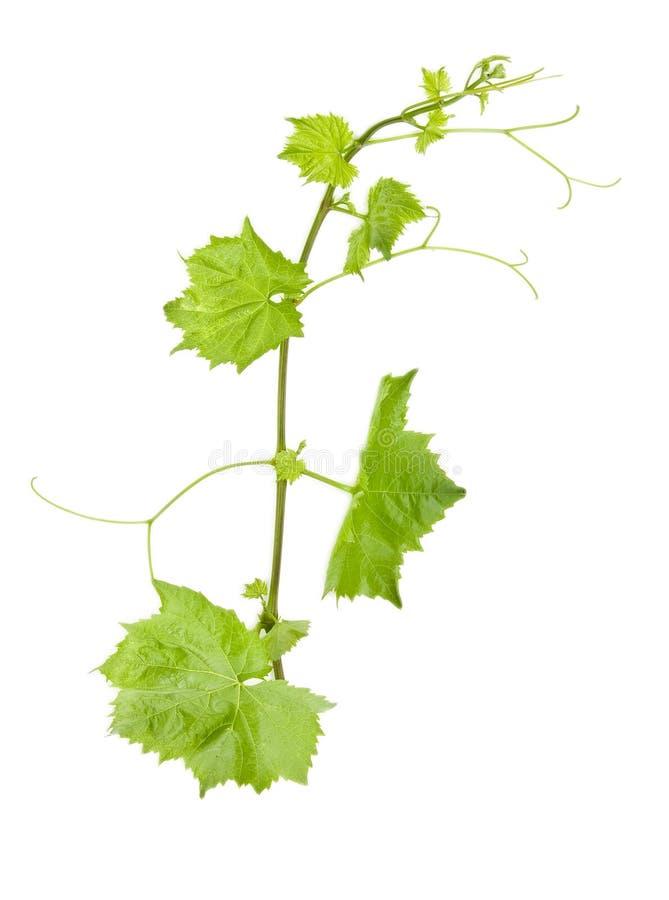 Foglio verde fresco dell'uva su bianco isolato immagini stock