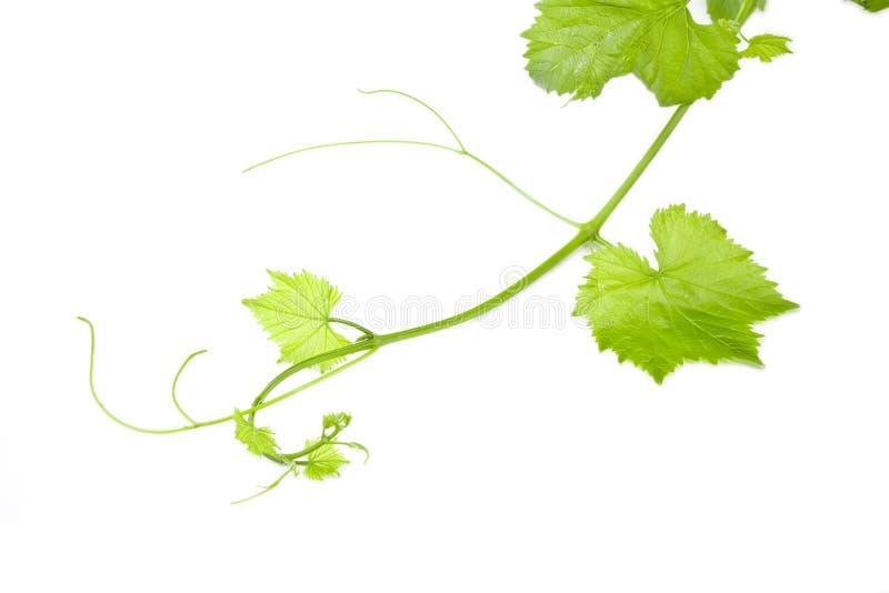 Foglio verde fresco dell'uva su bianco isolato fotografie stock libere da diritti