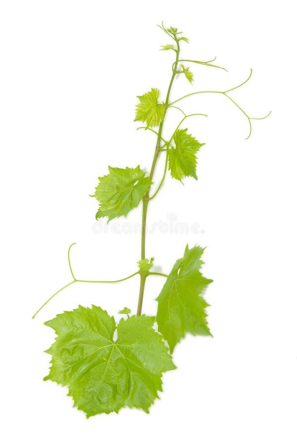 Foglio verde fresco dell'uva su bianco isolato fotografia stock libera da diritti