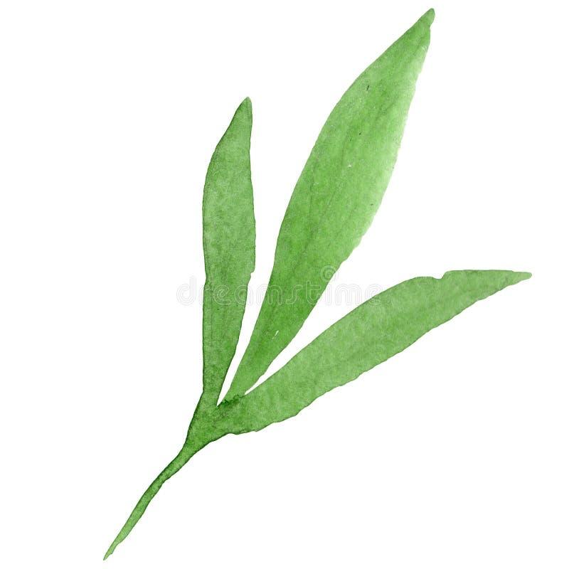 foglio verde Insieme dell'illustrazione del fondo dell'acquerello Elemento isolato dell'illustrazione della foglia su fondo bianc illustrazione vettoriale