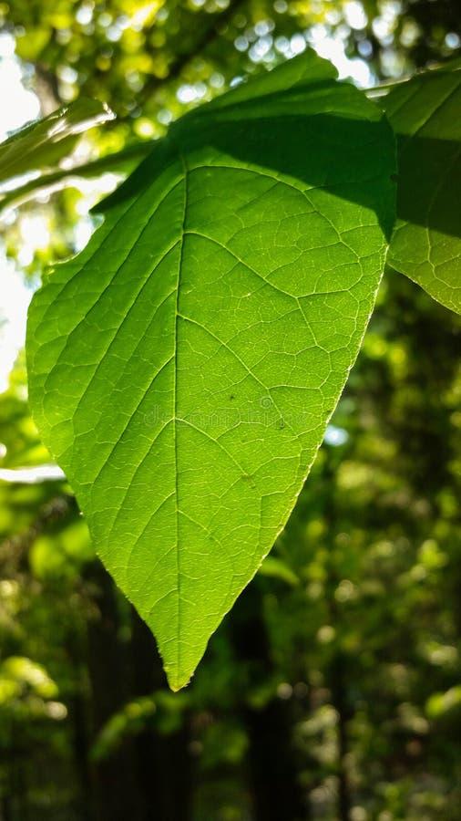 Foglio verde intenso immagine stock libera da diritti